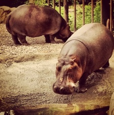 Oh my god! A rare creature! The city hippo! The day these beauties snuck up on me in the backyard I was quite shocked. Okay, just kidding. These hippos were at the Kansas City Zoo.